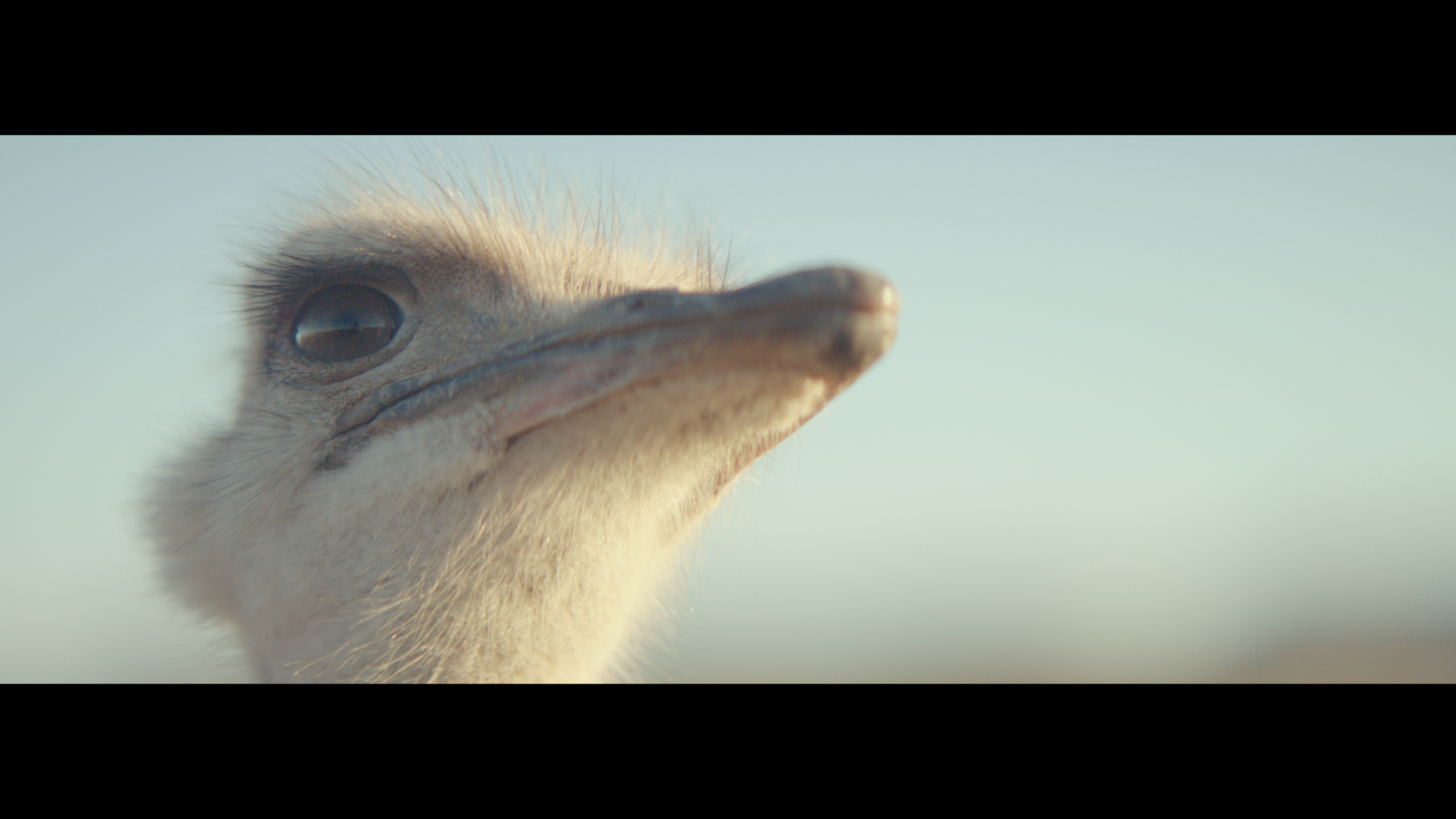 Ostrich Thumbnail