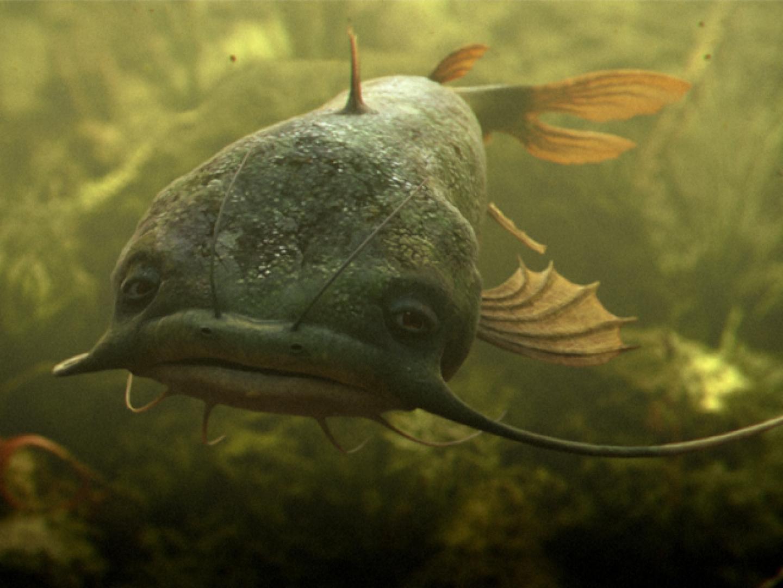 Catfish Thumbnail