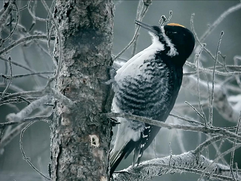 Woodpecker Thumbnail