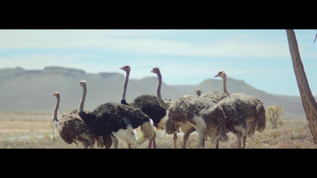 Thumbnail for Samsung, Ostrich
